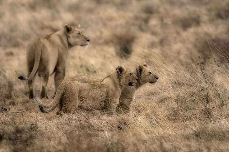 Panthera leo, Tanzania