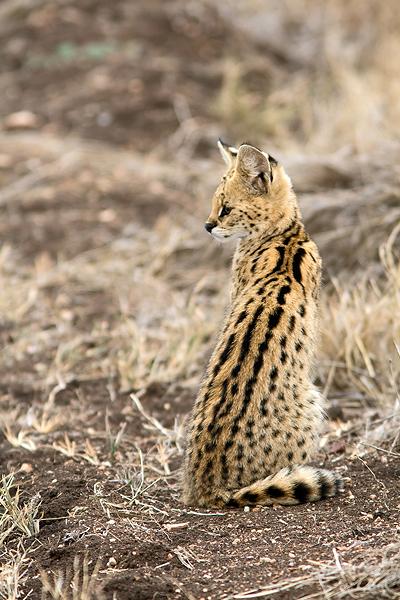 Leptailurus serval hindeio (Gattopardo), Tanzania