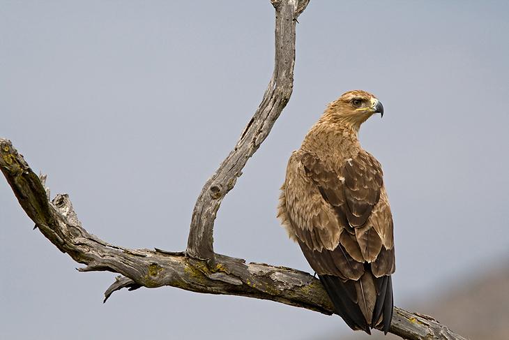 Aquila rapax, Tanzania