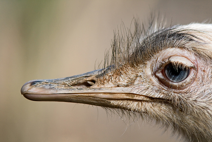 Struthio camelis