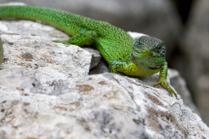 Lacerta viridis, Abruzzo