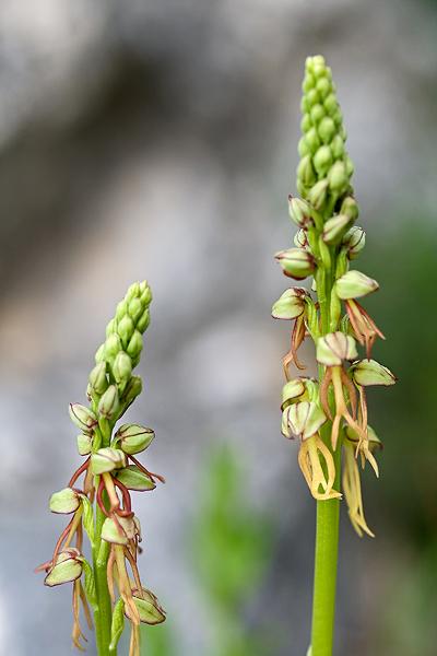 Orchis anthropophora