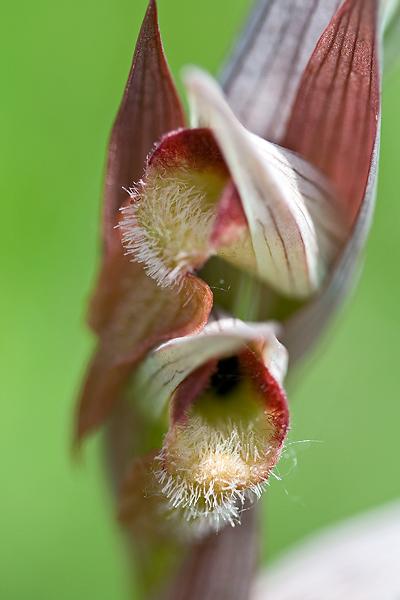 Serapias vomeraceaa