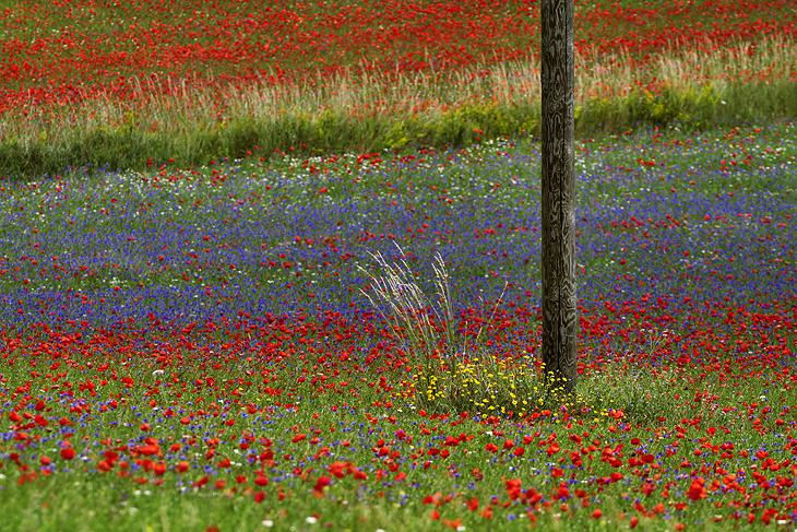 Blooming, Castelluccio di Norcia 01