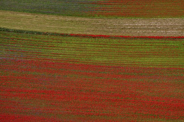 Blooming, Castelluccio di Norcia 04