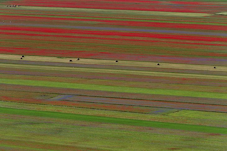 Blooming, Castelluccio di Norcia 05