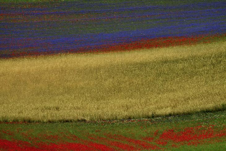 Blooming, Castelluccio di Norcia 08