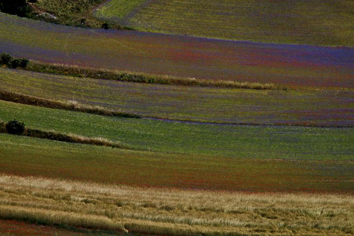 Blooming, Castelluccio di Norcia 14