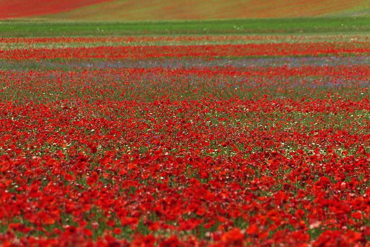 Blooming, Castelluccio di Norcia 17