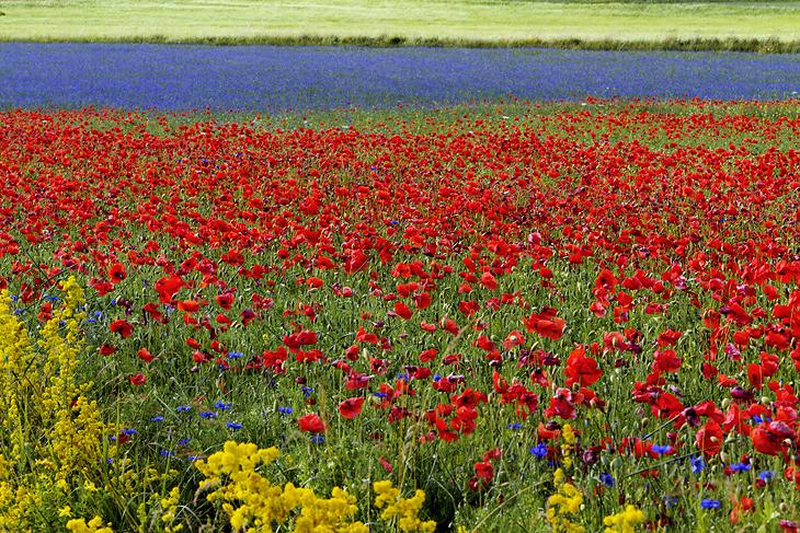 Blooming, Castelluccio di Norcia 19