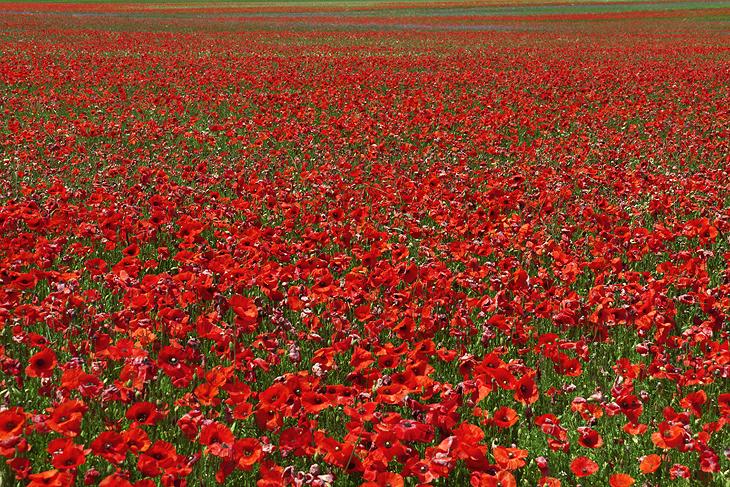 Blooming, Castelluccio di Norcia 20