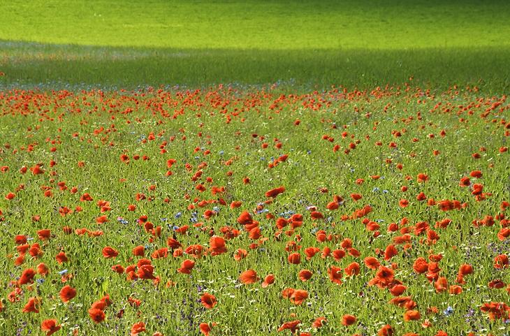 Blooming, Castelluccio di Norcia 21