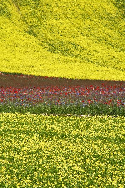 Blooming, Castelluccio di Norcia 23
