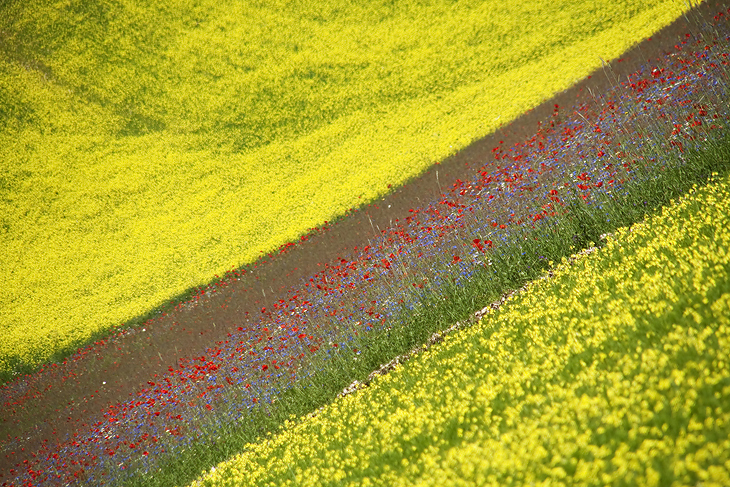 Blooming, Castelluccio di Norcia 25