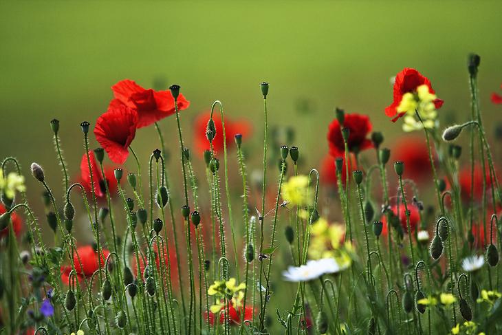 Blooming, Castelluccio di Norcia 41