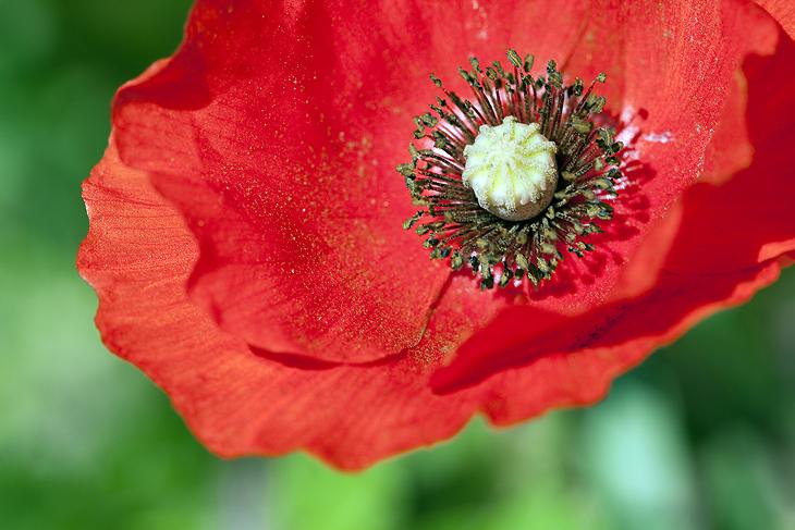 Blooming, Castelluccio di Norcia 42