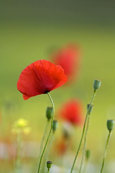 Blooming, Castelluccio di Norcia 43