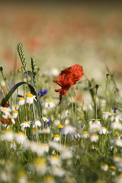 Blooming, Castelluccio di Norcia 46