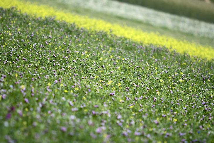 Blooming, Castelluccio di Norcia 52